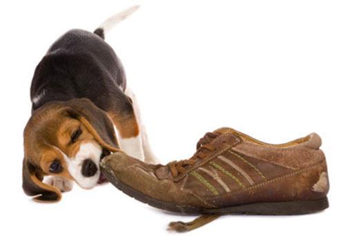 Hund beisst in Schuh